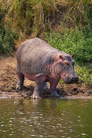 hippo stands on muddy riverbank eyeing