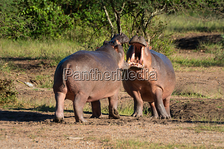 hippos confront each other with open