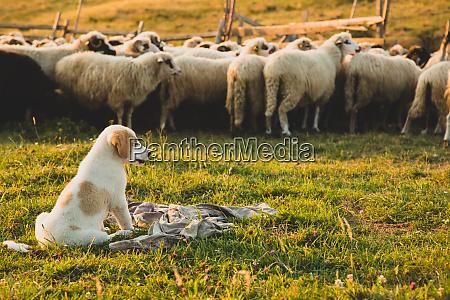 puppy sheepdog watching sheep
