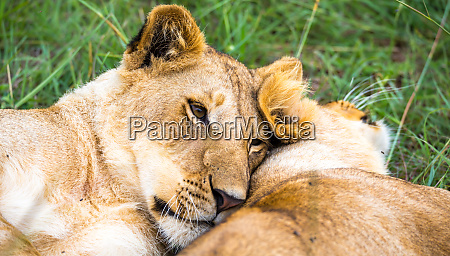 two young lions cuddle and play