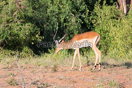 impala gazelles grazed in the savannah
