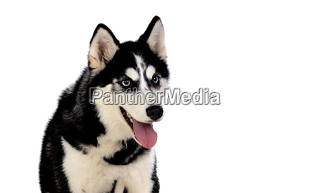 siberian huskie with blue eyes