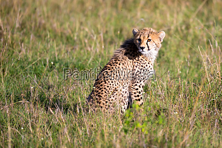 a cheetah sits in the grass