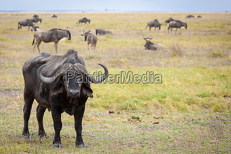 buffalo standing in the savannah of