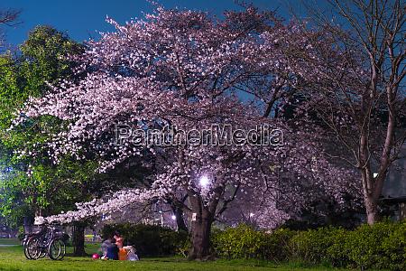 cherry blossoms of inokashira park inokashira