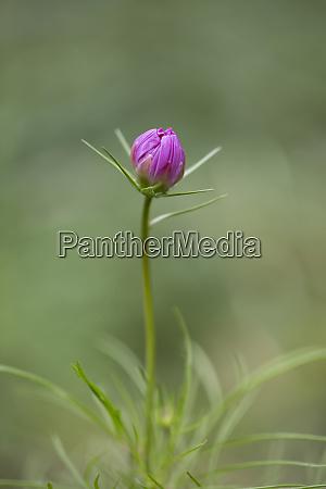 delicate single pink cosmea flower