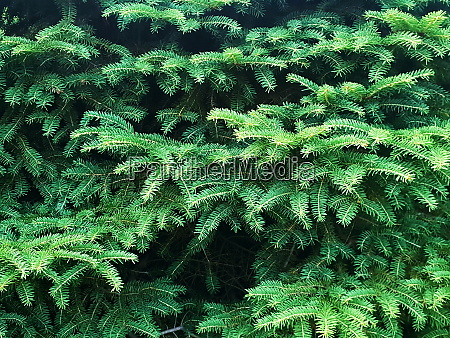 green spruce background