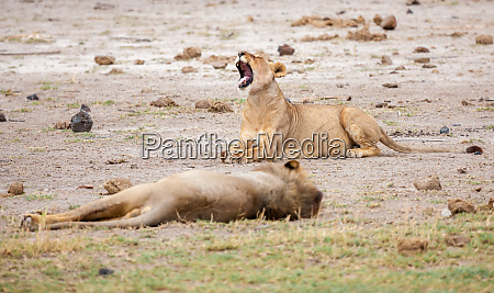 two lions are lying one of