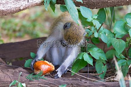 a vervet monkey has found a