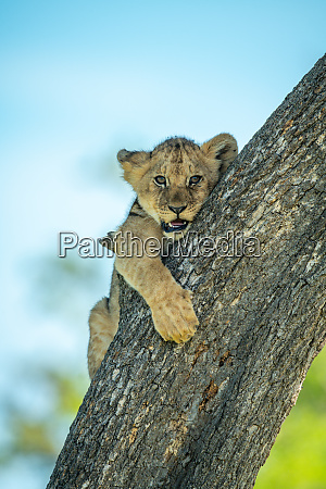 lion cub clings to branch of