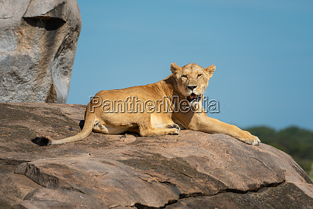 lioness lies on rock with open