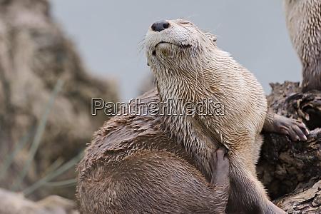 otter enjoys a scratch