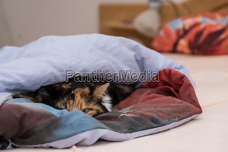 cat is hiding in bed