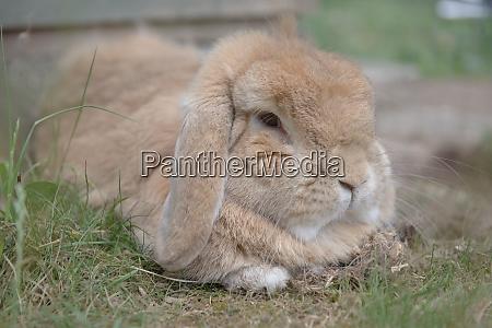 sandy netherlands dwarf lop rabbit lies