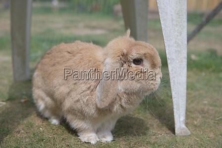 very cute sandy dwarf lop pet