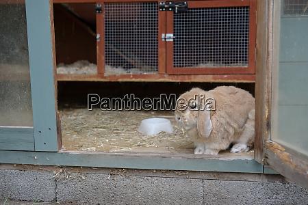 small lop ear pet rabbit looks