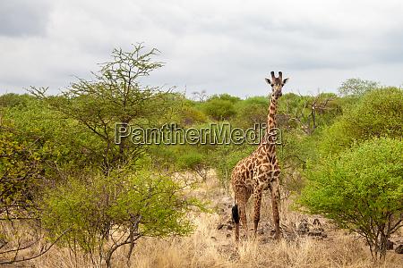 game drive in kenya giraffe is