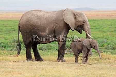 african elephant with calf amboseli