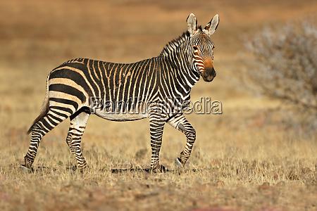 cape mountain zebra in natural habitat