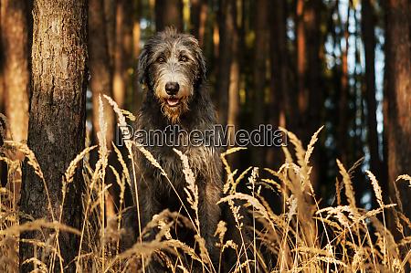 irish wolfhound a big gray dog