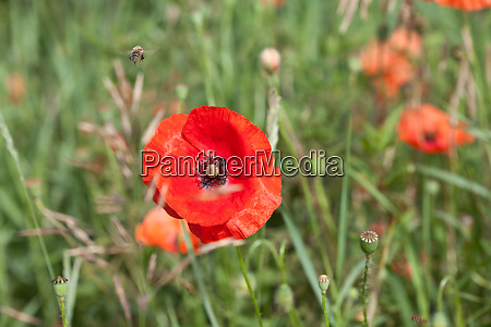 meadow with red poppy