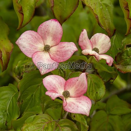 pretty pink flowers of cornus kousa