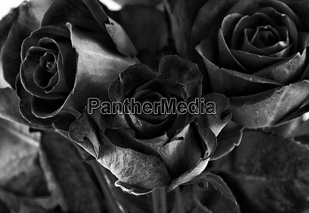 toned roses