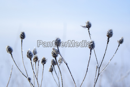 meadow grass covered with hoarfrost