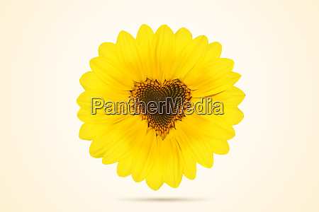 sunflower with heart shape on white