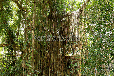 ficus elastica covered with long lianas