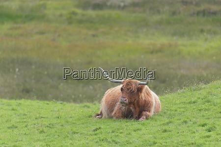 lone brown orange male highland bull