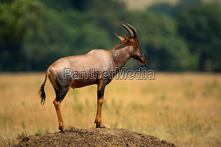 male topi stands on sunlit termite