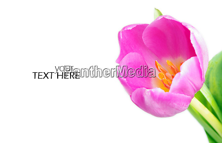 pink tulip with the copy space
