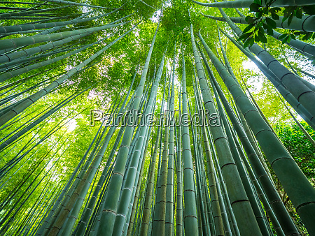 tall bamboo trees in an japanese