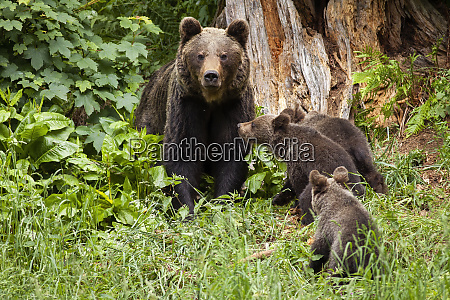 family of brown bear with three