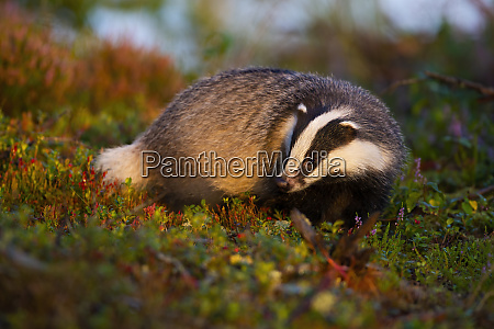 thoughtful european badger looking for food