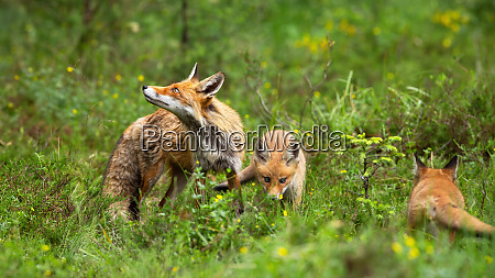 protective red fox mother guarding her