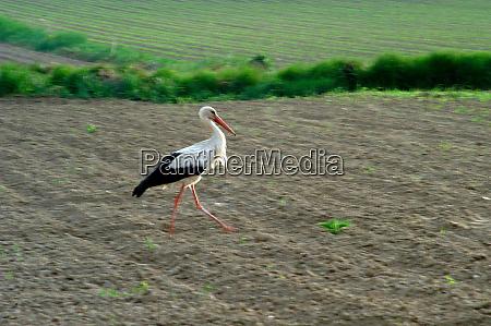 stork walking on a field
