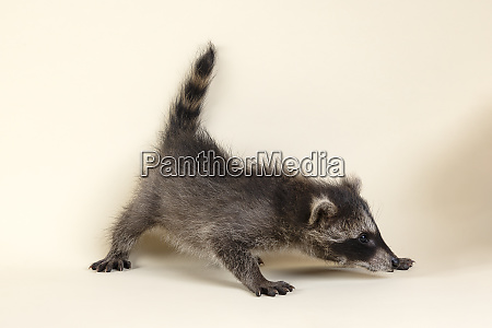 mammal waschbaer 2020 33352