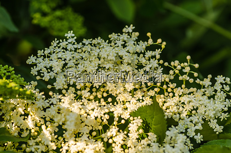 elderflowers in spring