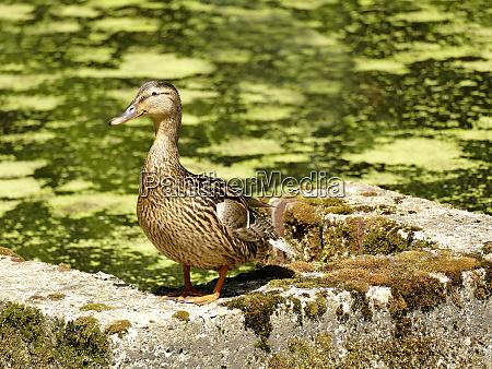mallard hen in a pond in