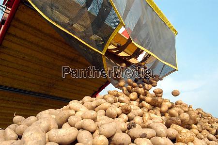 potato harvest on the field