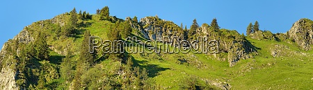herd of chamois grazes in the