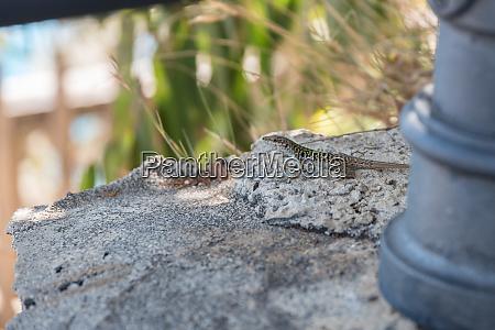 lizard on a brick wall