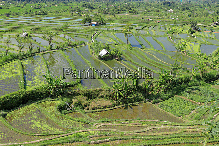 huts in the middle of rice