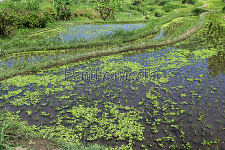 young rice are growing in the