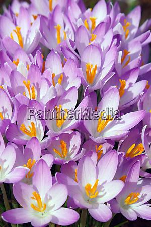woodland crocus flowers