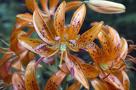 kochang lily lilium distichum