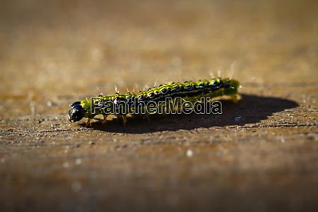 close up of a caterpillars caterpillar