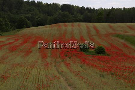 wonderful red poppies in summer blooms